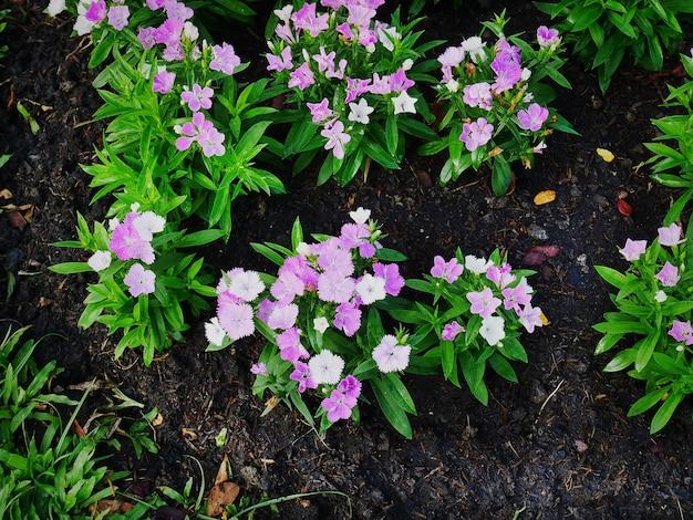 토양 배경에 분홍색 흰색 꽃 식물의 높은 각도보기