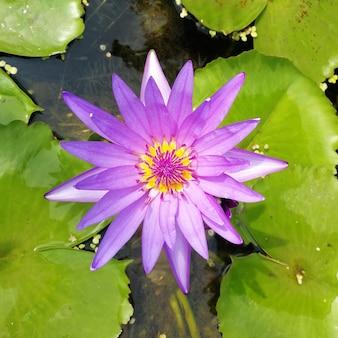 水中の紫色の蓮の高角度ビュー