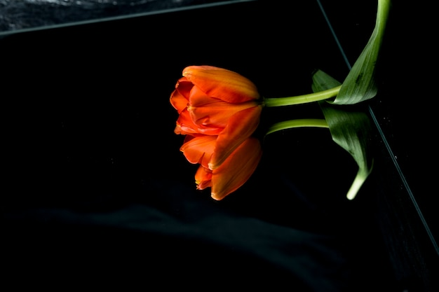 High angle view of orange tulip on glass with reflection