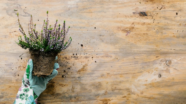High angle view of person's hand wearing gloves holding flower pot over wooden backdrop