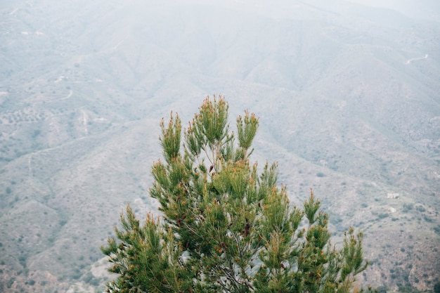 High angle view of pinecone tree in front of mountain landscape