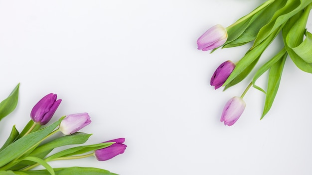 High angle view of purple tulip flowers on white backdrop