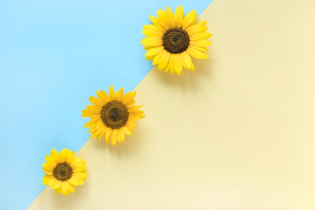 High angle view of sunflowers on dual colorful background