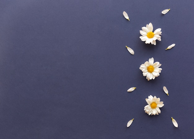 High angle view of white daisy flowers and petals decorated on blue background