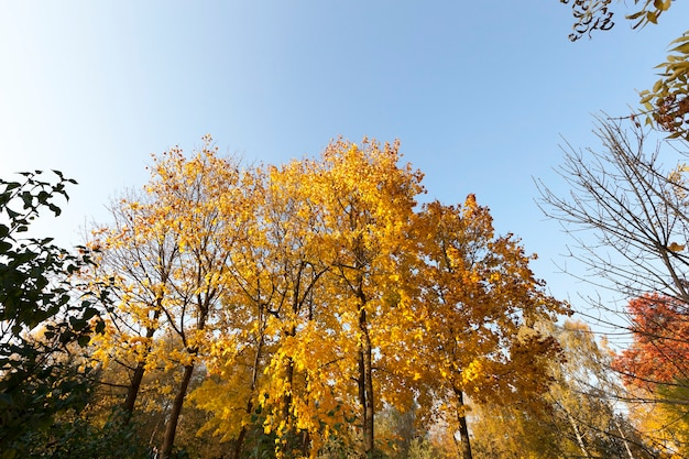 秋の混交林の黄色い葉を持つ日光のカエデの冠によって明るく照らされた高い
