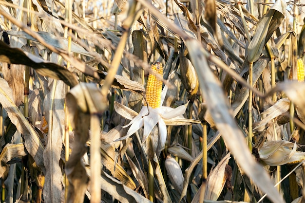 High dry field with corn and ripe yellow cobs before harvesting grain, late autumn