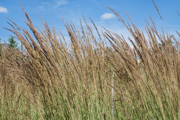 High ears of grass against the blue sky