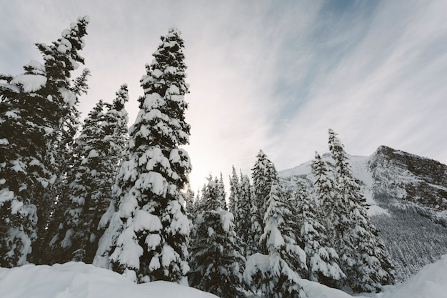 High pine trees in snowy mountains
