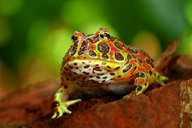 High red ornate frog in natural environment