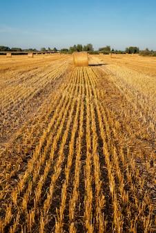 Высокая стерня после уборки урожая на поле фермы
