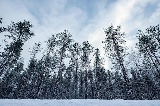 Высокие деревья со снегом, мрачно зимой