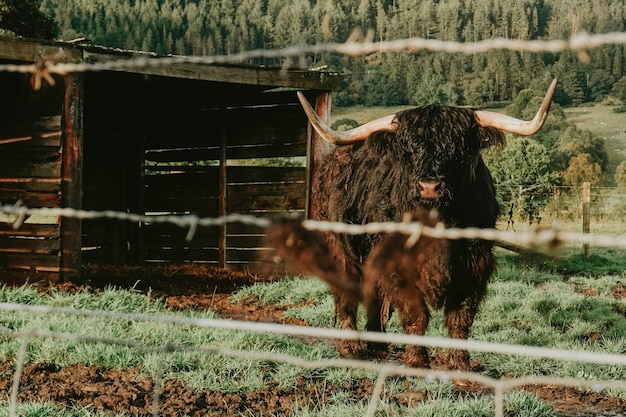 Highland cattle in a farm at highlands, scotland