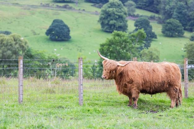 スコットランドの田舎の農場を歩くハイランド牛