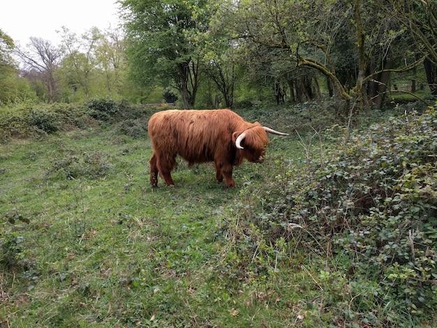 ヨークシャーのハイランド牛