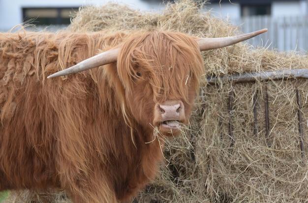 スコットランドで一握りの干し草をむさぼり食うハイランド牛。