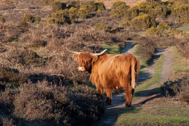 Highland cow roaming free in the new forest
