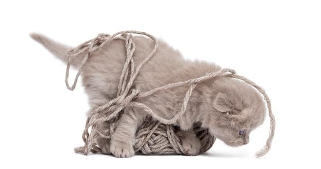白で隔離される羊毛のボールで遊ぶハイランド折り子猫