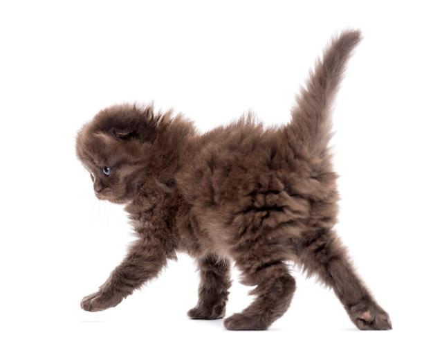 Highland fold kitten walking isolated on white