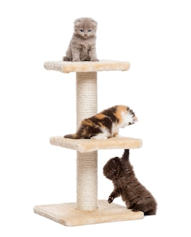 Highland fold and straight kittens playing on a cat tree isolated on white