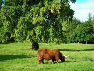 Highland's cow