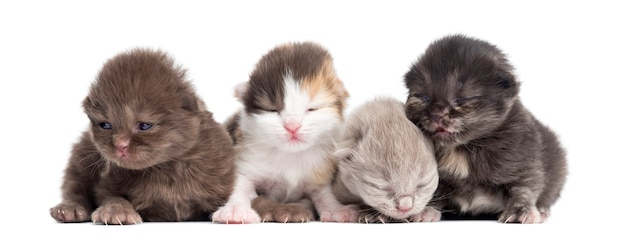 Highland straight or fold kittens in a row, isolated on white