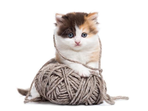 白で隔離される羊毛のボールで遊ぶハイランドストレート子猫