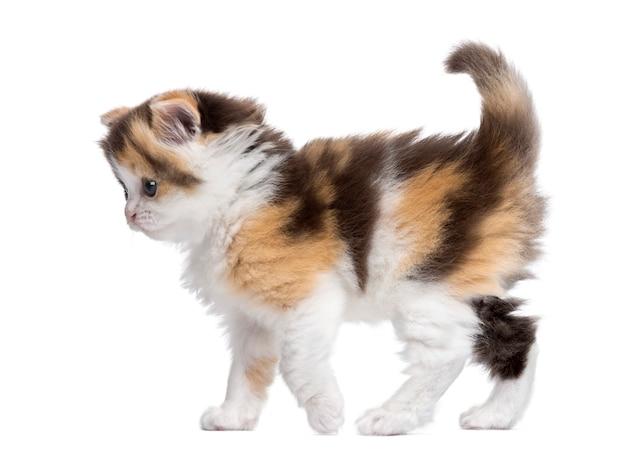 Highland straight kitten walking alert isolated on white