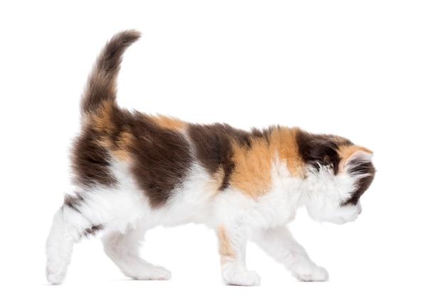 Highland straight kitten walking isolated on white