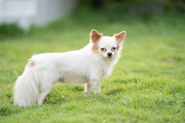 Hihuahua 개 행복하고 녹색 잔디 필드 야외에서 즐길 수