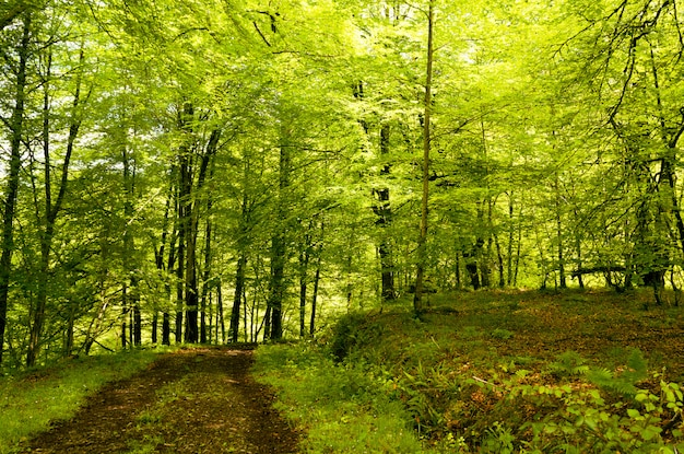 Hiking forest track under the forest dome, beech forest of cea, asturias.