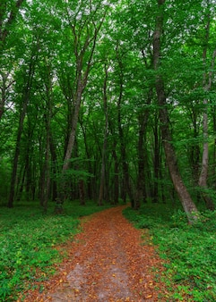 Hiking trail through tall trees in a lush green forest