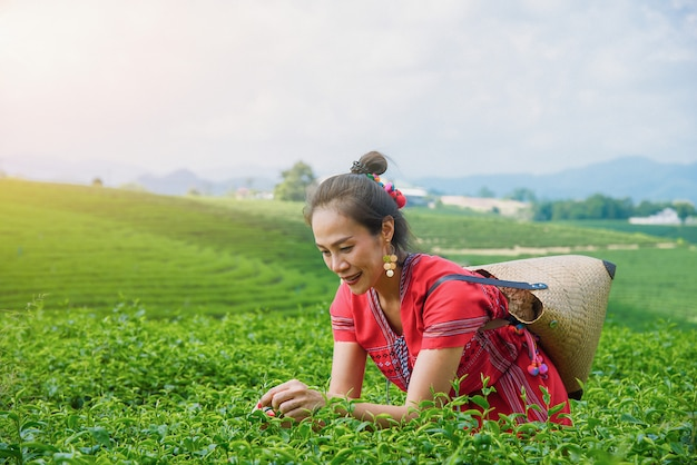 Hill tribe asian woman in traditional clothes collecting tea leaves with basket