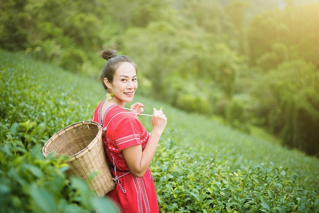 Hill tribe asian woman in traditional clothes collecting tea leaves