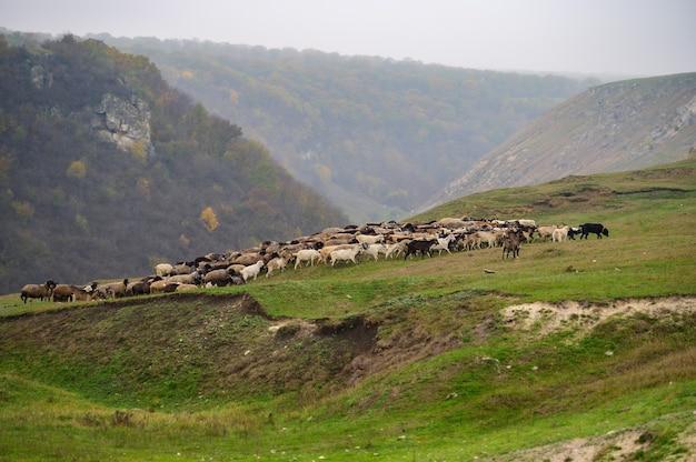 양 방목과 언덕 풍경