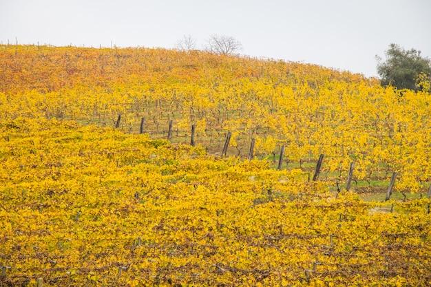 Hills of vineyards in autumn
