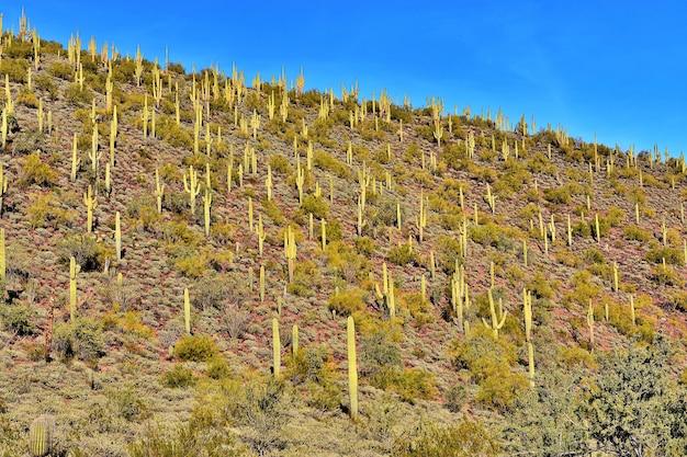 Hillside of saguaros