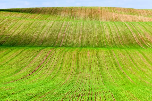 Холмистая местность, на которой растет зеленая пшеница