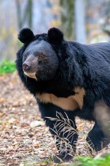 森の中のヒマラヤのクマ