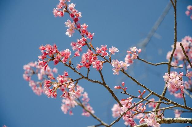 푸른 하늘 가진 히말라야 벚꽃