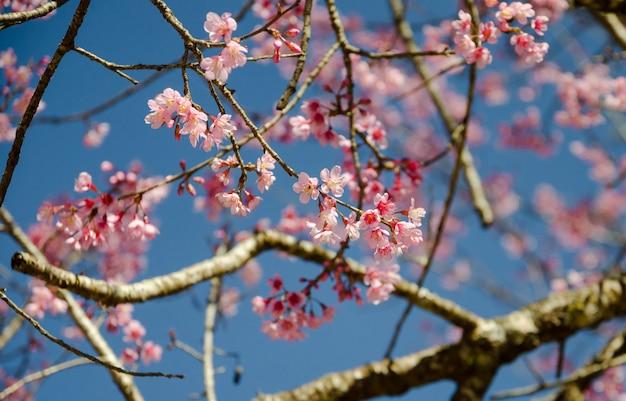히말라야 벚꽃