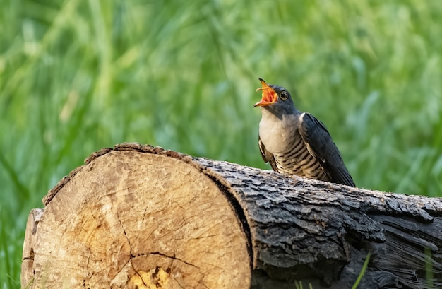 Himalayan cuckoo eating prey while perching on trunk