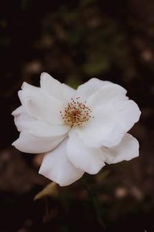 挨拶蘭は、白い背景ブランシュをhintergrund