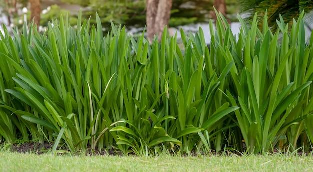 Hippeastrum aulicumの植物