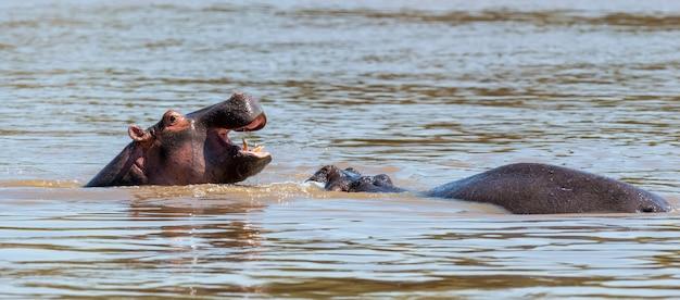 Семья бегемотов (hippopotamus amphibius) в реке. национальный парк кении, африка