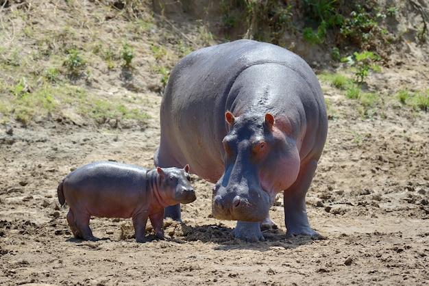 アフリカ、ケニアの国立公園のカバの家族