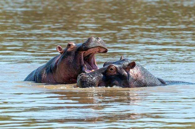 Семья бегемотов в реке