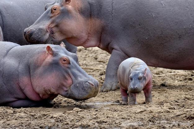 Famiglia di ippopotamo fuori dall'acqua