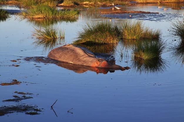 Hippo, hippopotamus on safari in kenia and tanzania, africa