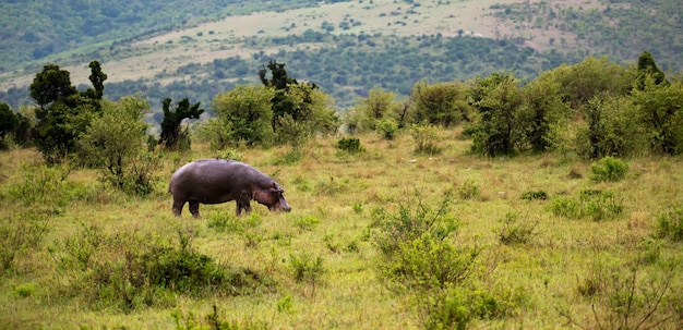 The hippo is walking in the savannah