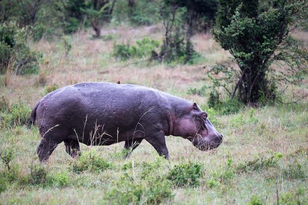 A hippo in the savannah of kenya